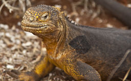 Close up of Galapagos Land Iguana Stock Images
