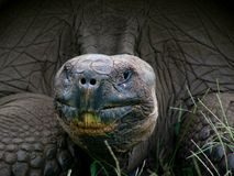 Close up of Galapagos Land Tortoise Royalty Free Stock Image