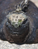 Close up of Galapagos Marine Iguana Stock Images