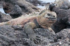 Close up of Galapagos marine iguana at rest stock photography