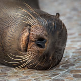 Close-up of Galapagos sea lion lying asleep Stock Photo
