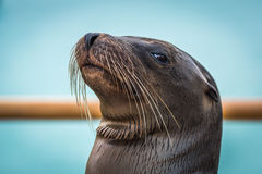 Close-up of Galapagos sea lion by railing Stock Photography