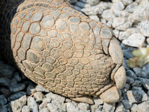 Close up of a Galapagos tortoise foot Stock Image