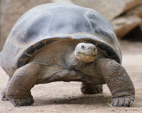 A Close Up of a Galapagos Tortoise Stock Photography