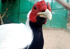 Close up of gallus gallus/ junglefowl