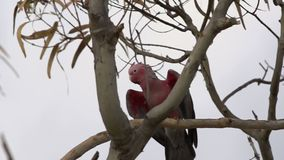 Close up gang-gang cockatoo flying away out of a tree in slow motion in Kalbarri, Western Australia stock video