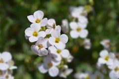 Garden arabis. Close up of garden arabis mountain rock cress white flowers - Latin name - Arabis caucasica Stock Photos