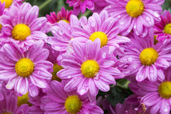 Close up Garden of Blooming Violet Chrysanthemum Flowers. Close up garden of blooming violet  chrysanthemum flowers covered with rain droplets in garden setting Stock Photo