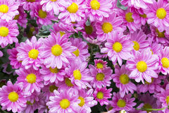 Close up Garden of Blooming Violet Chrysanthemum Flowers. Covered in rain droplets in garden setting Stock Images