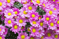 Close up Garden of Blooming Violet Chrysanthemum Flowers. Covered in rain droplets in garden setting Royalty Free Stock Photo