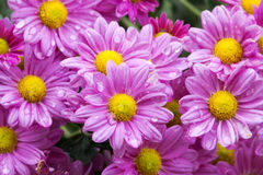 Close up Garden of Blooming Violet Chrysanthemum Flowers. Close up garden of blooming violet and orange chrysanthemum flowers covered with rain droplets in Stock Photography