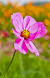 Close up of garden cosmos or Mexican aster flowers Royalty Free Stock Photo