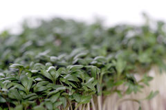 Close up of garden cress Stock Images