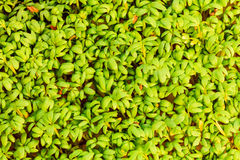 Close up of garden cress as background Royalty Free Stock Photos
