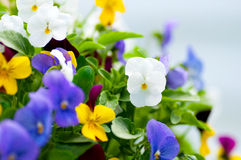 Close up of garden flowers.  Royalty Free Stock Photography