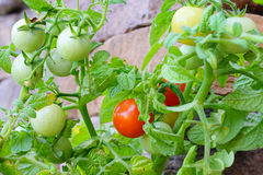 Close up of  Garden grape tomato Stock Photos