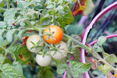 Close up of  Garden grape tomato Stock Photography