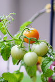 Close up of  Garden grape tomato Stock Image