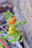 Close up of  Garden grape tomato Royalty Free Stock Photography