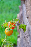 Close up of  Garden grape tomato Royalty Free Stock Images