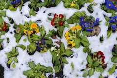 Close up of garden pansies in the snow, waiting for spring, captured in London, UK during the late winter of 2018 also royalty free stock image