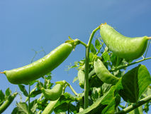 Close-up of garden pea. Plantation of the  pea in the vegetable garden Royalty Free Stock Photography