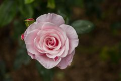 Close-up of garden rose Stock Photography