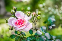 Close-up of a garden rose with dew drops stock images