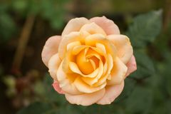 Close-up of garden rose. Flower Stock Photos