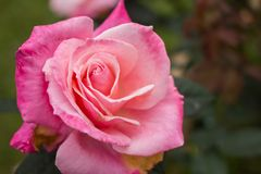 Close-up of garden rose. Flower Royalty Free Stock Photography