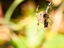 Close up garden spider hanging on web Araneus diadematus Royalty Free Stock Images