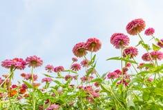 Wild zinnia. Stock Images