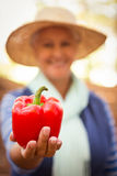 Close-up of gardener holding red bell pepper at garden Stock Image
