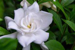 Close Up of a Gardenia Bush Flower. Close up of a white gardenia bush flower bloom with green leaves in the background royalty free stock photo