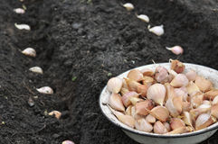 Close-up of garlic in planting process. In the vegetable garden stock image