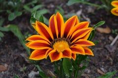 Close up of gazania flower or african daisy in a garden. Gazania splendens hort. royalty free stock image