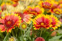 Close up of gazania flower or african daisy stock image