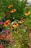 Gazania Flower in Bloom in gardens at Balboa Park San Diego Cali royalty free stock image