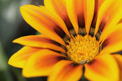 Close up Gazania flower native Stock Image