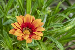 Gazania rigens , sometimes called treasure flower, is a species of flowering plant in the family Asteraceae, native to southern Af. Close up Gazania rigens stock photo