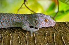 Close up gecko. Royalty Free Stock Image