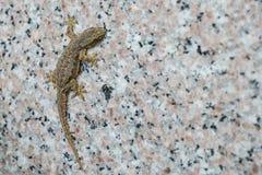 A close up gecko reptile climbing a wall.  Stock Photos