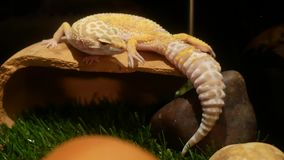 Gecko sleeping in the daytime. Close up Gecko sleeping in the daytime stock video