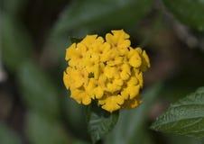 Close-up gele bloei, Lantana Camara Stock Afbeeldingen