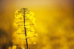 Close up of gentle blooming rapessed crop flower Stock Image