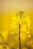 Close up of gentle blooming rapessed crop flower Royalty Free Stock Image