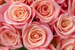Background of wonderful pink roses stock photography