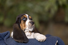 Close up gentle and sweet Basset hound puppy with sad eyes. Sitting on a blanket royalty free stock image