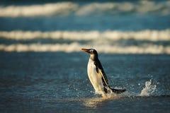 Close up of a Gentoo penguin in Atlantic ocean royalty free stock photos