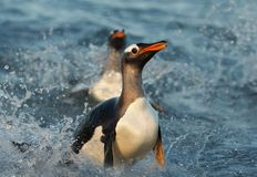 Close up of a Gentoo penguin diving in water royalty free stock photography
